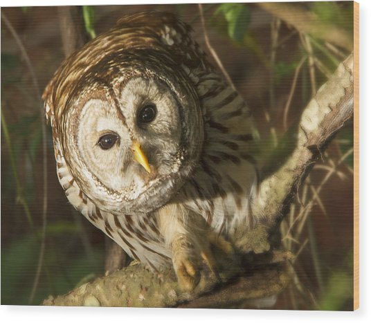 Barred Owl Peering Wood Print