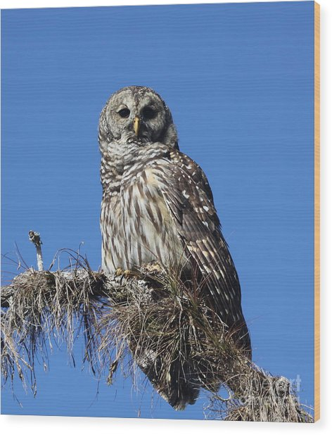 Barred Owl Portrait Wood Print
