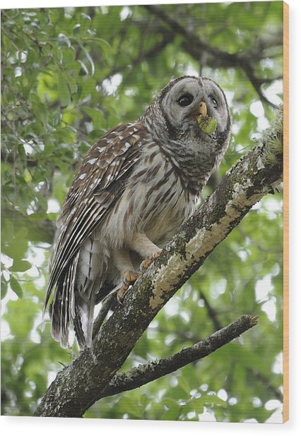 Barred Owl With A Snack Wood Print by Keith Lovejoy