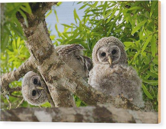 Barred Owlet Twins Wood Print