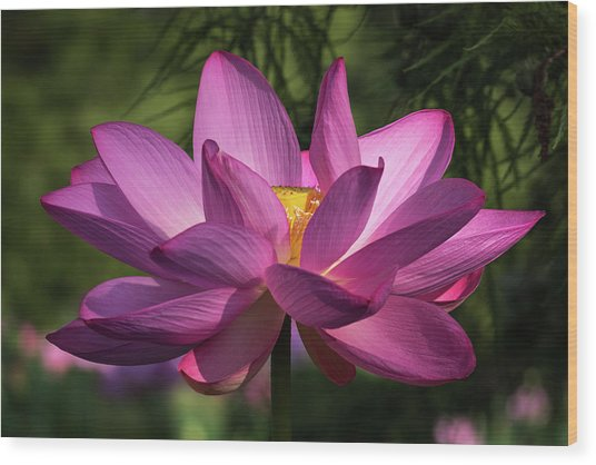 Wood Print featuring the photograph Be Like The Lotus by Cindy Lark Hartman