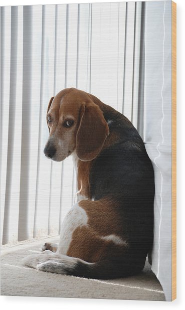 Wood Print featuring the photograph Beagle Attitude by Jennifer Ancker