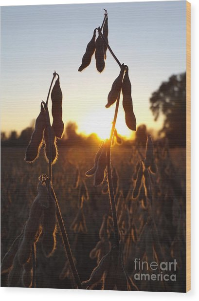 Beans At Sunset Wood Print