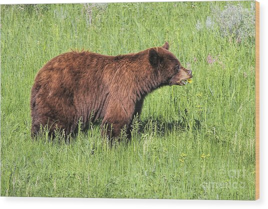Bear Eating Daisies Wood Print