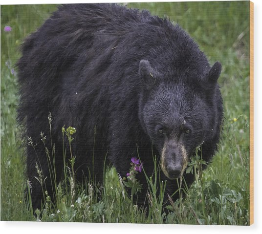 Bear Gaze Wood Print