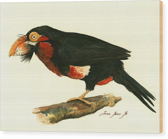 Bearded Barbet Wood Print