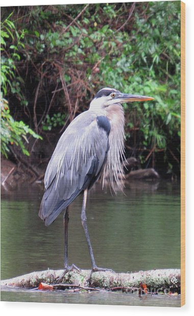 Bearded Blue Heron Wood Print