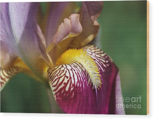 Bearded Iris Flower Mary Todd Wood Print