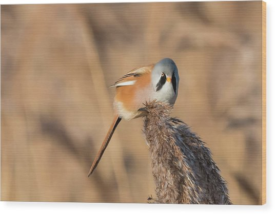 Bearded Reedling Wood Print