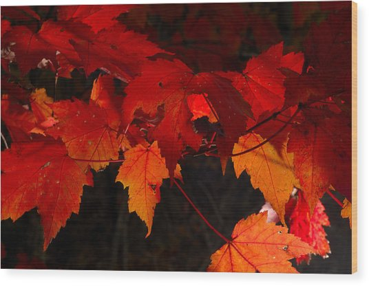 Beautiful Backlit Autumn Maple Leaves Wood Print by Darrell Young