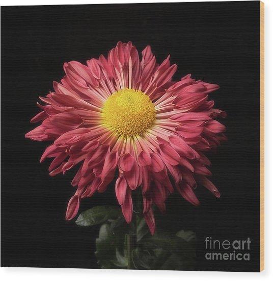 Beautiful Chrysanthemum Wood Print