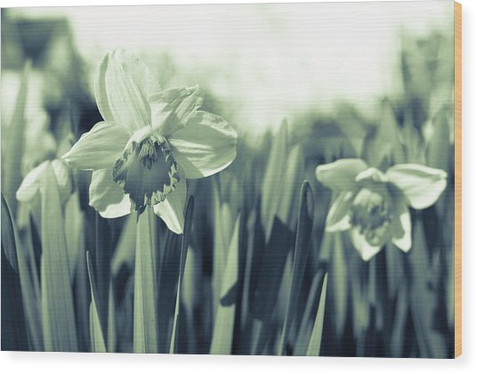 Beautiful Daffodil Wood Print
