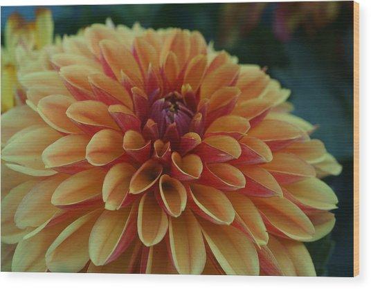 Beautiful Dahlia 1 Wood Print