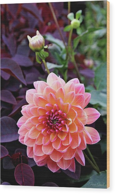 Beautiful Dahlia Wood Print