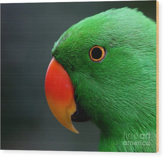 Beautiful Eclectus Parrot Wood Print