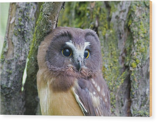 Beautiful Eyes Of A Saw-whet Owl Chick Wood Print