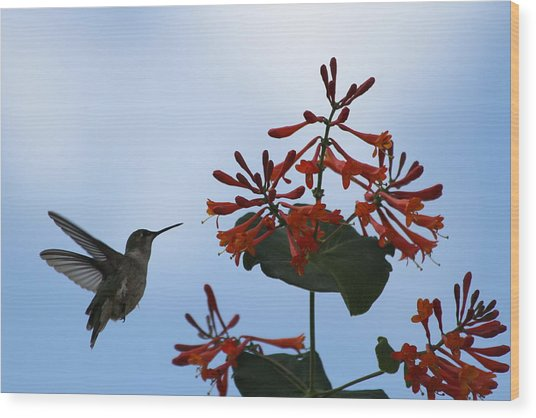 Beautiful Hummingbird Wood Print by Cinneidi Comfort