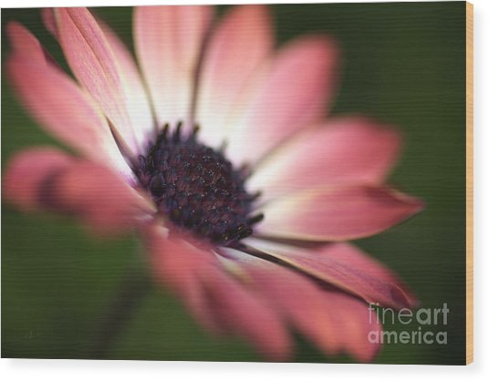 Beautiful Rich African Daisy Zion Red Flower Wood Print