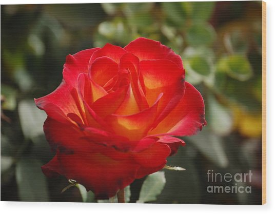 Beautiful Rose Wood Print