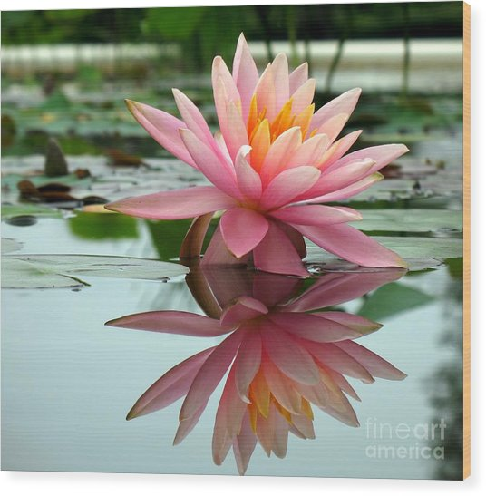 Beautiful Water Lily In A Pond Wood Print