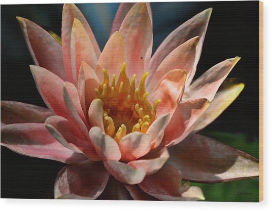 Beckoning The Sun Water Lily Wood Print