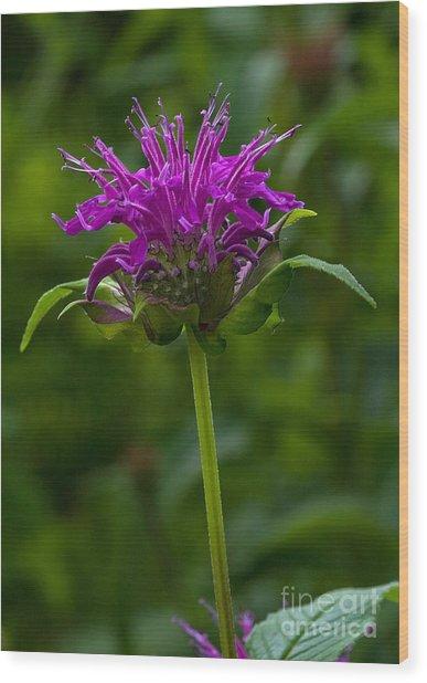 Bee Balm Beauty Wood Print