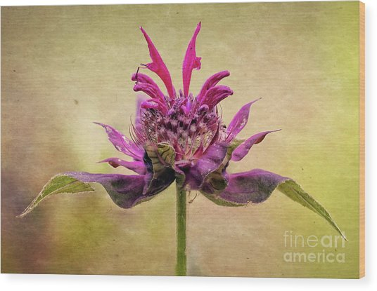 Bee Balm With A Vintage Touch Wood Print