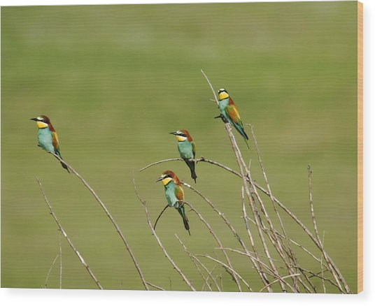 Bee Eaters  Wood Print
