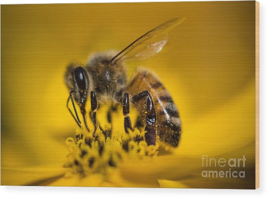 Bee Enjoys Collecting Pollen From Yellow Coreopsis Wood Print