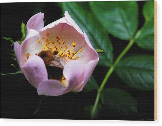 Bee Feast Wood Print by Lucas Mazzeo