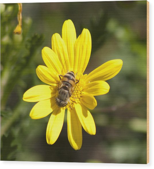 Bee Feeding Wood Print