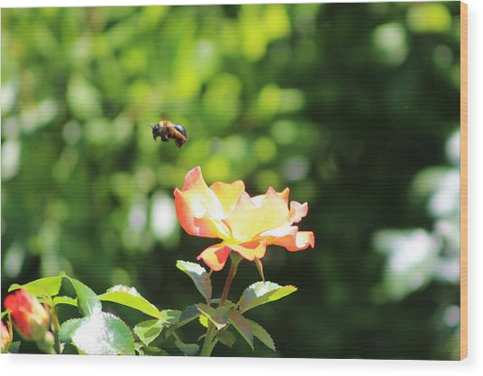 Bee Flying From Peach Petal Rose Wood Print