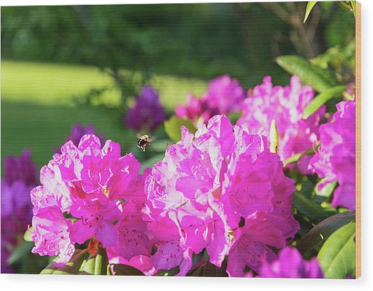 Bee Flying Over Catawba Rhododendron Wood Print