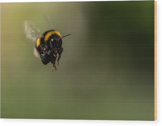 Bee Flying - View From Front Wood Print
