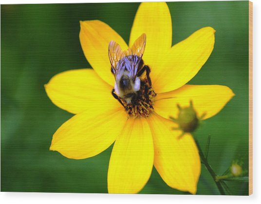Bee In The Flower  Wood Print by Paul SEQUENCE Ferguson             sequence dot net