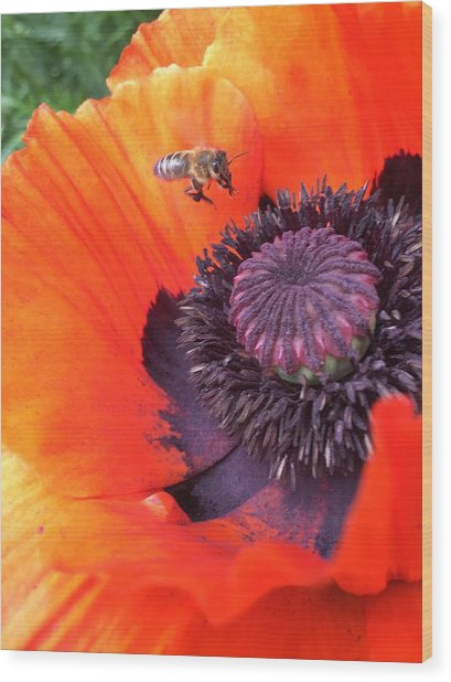 Bee Is Visiting A Poppy Wood Print
