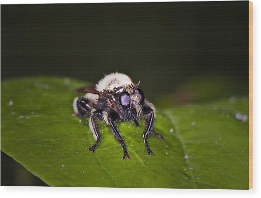 Bee Killer Fly Wood Print by Michael Whitaker