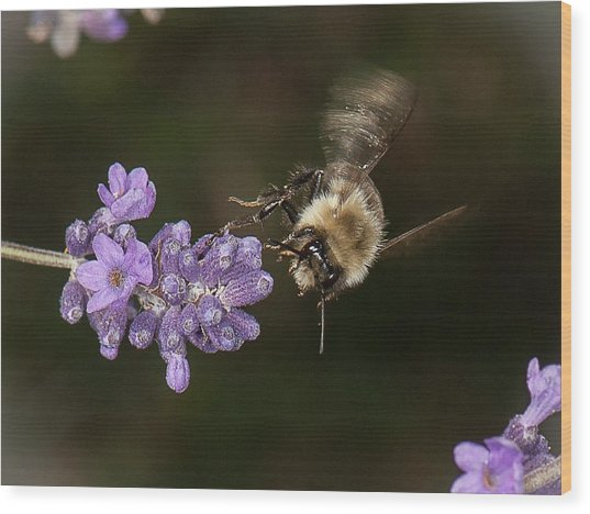 Bee Landing On Lavender Wood Print