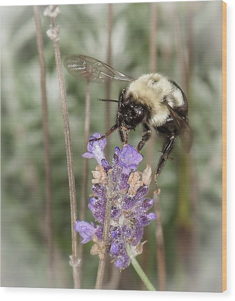 Bee Lands On Lavender Wood Print