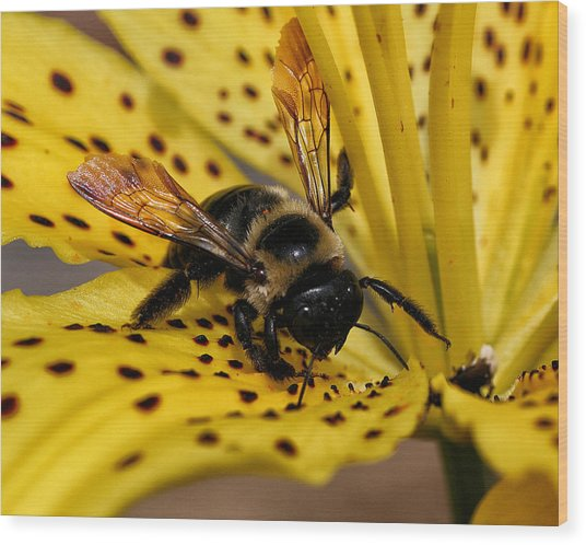 Bee On A Lily Wood Print