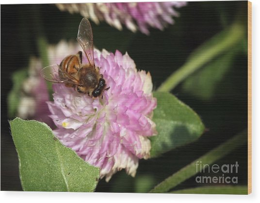 Bee On Gomphrena Wood Print by Jeannie Burleson