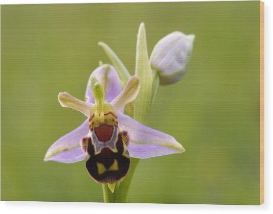 Bee Orchid Wood Print by Liz Pinchen