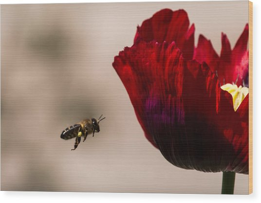 Bee Right Profile Flying To Red Flower Wood Print
