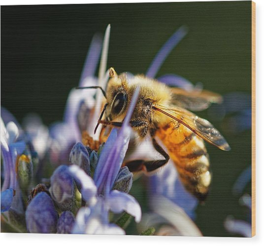 Bee Visits Rosemary  Wood Print