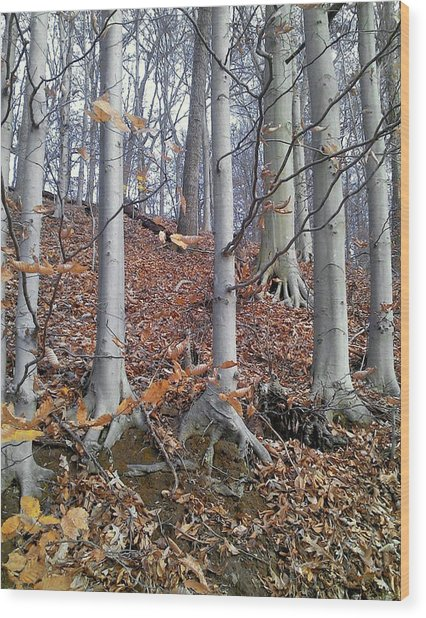 Beech Trees Wood Print