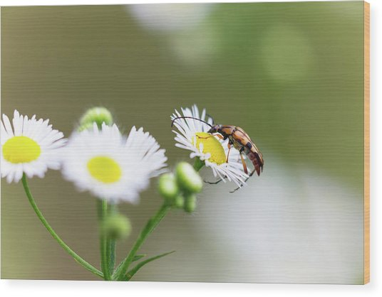 Beetle Daisy Wood Print