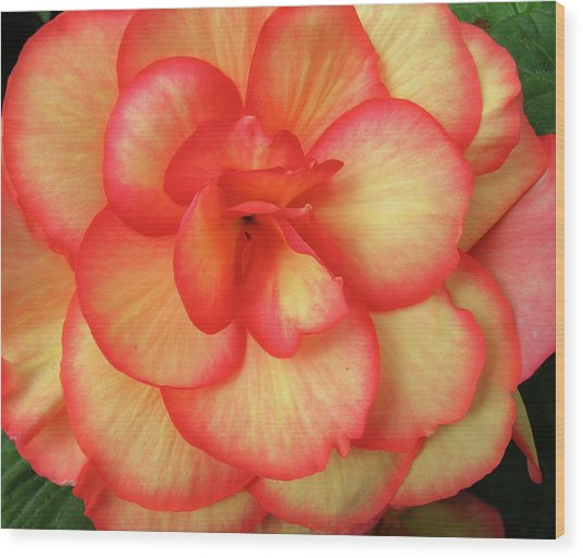 Begonia No. 1 Wood Print