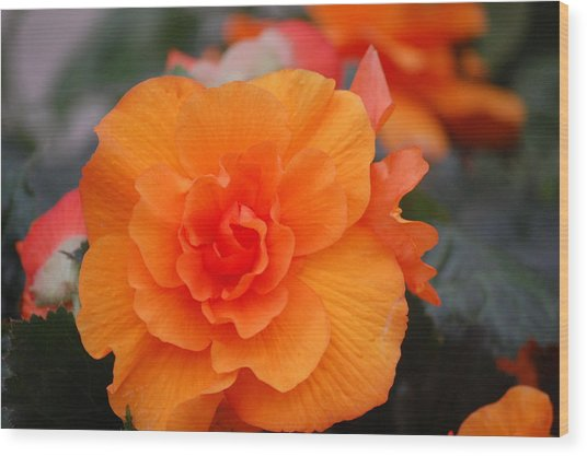 Begonia Sunrise Wood Print