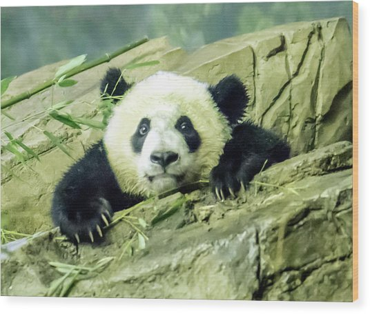 Bei Bei Panda At One Year Old Wood Print