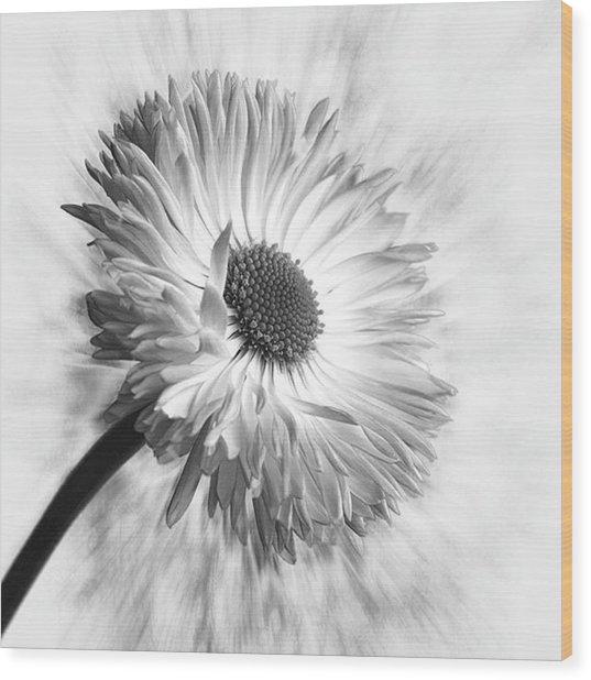 Bellis In Mono  #flower #flowers Wood Print
